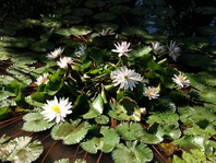 Fishpond with lillies